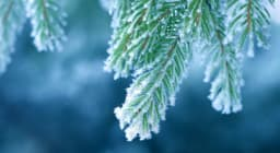 Snow covered evergreen branch