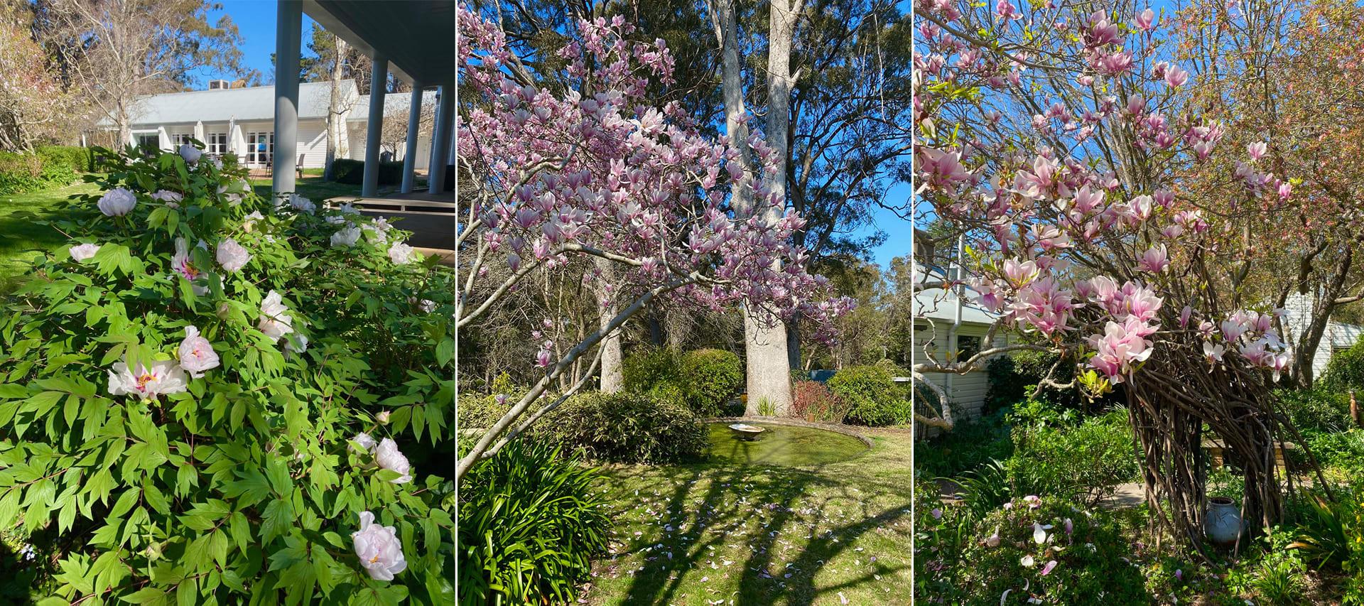 Tree peonies and magnolias in Sturt garden
