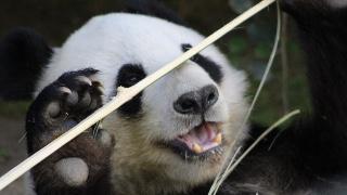 Panda Memories